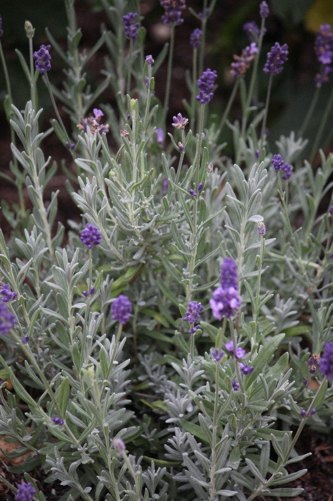 lavender-1045805_1920